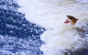 Atlantic Salmon Jumping Annacotty Weir - Lette Molonley - Jan 2011